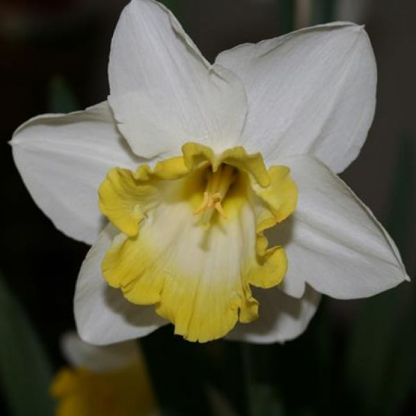 Narcissus 'Sweet Harmony'