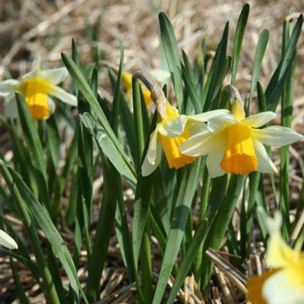 Narcissus 'Nor-Nor'