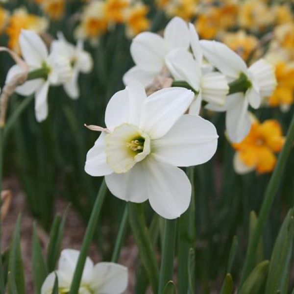 Narcissus 'Green Chartreuse'
