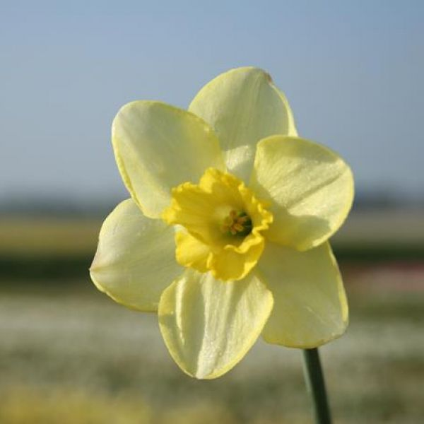 Narcissus 'Young Oliver'