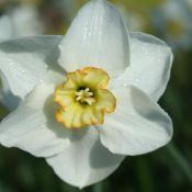 Narcissus 'Park Springs'