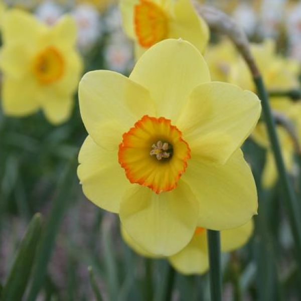 Narcissus 'Badbury Ring'