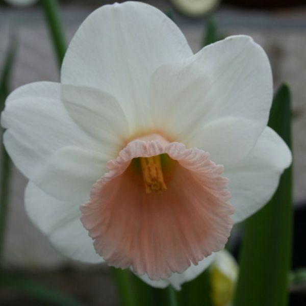 Narcissus 'Ita'