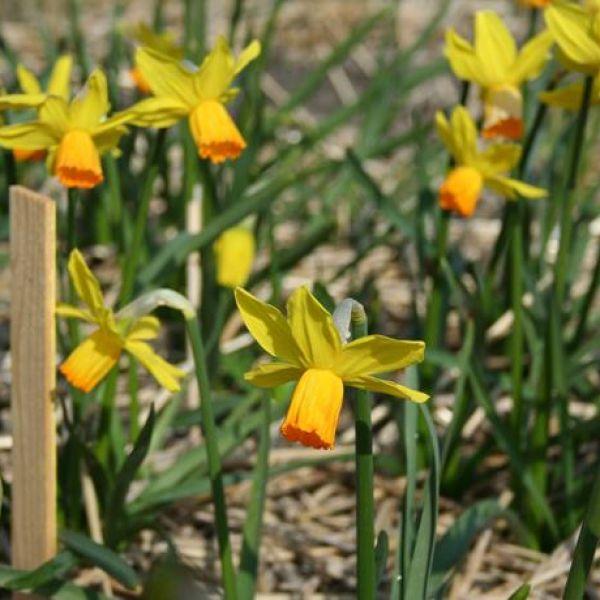 Narcissus 'Satellite'
