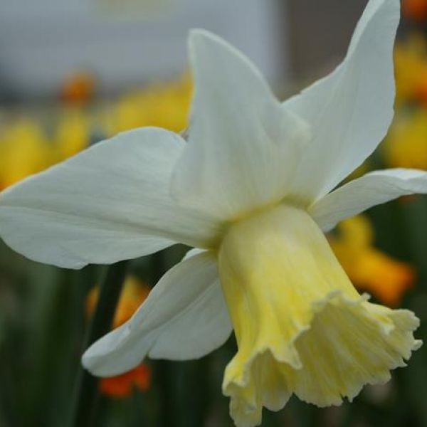 Narcissus 'Winged Victory'