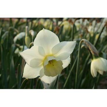 Narcissus 'Sextant'