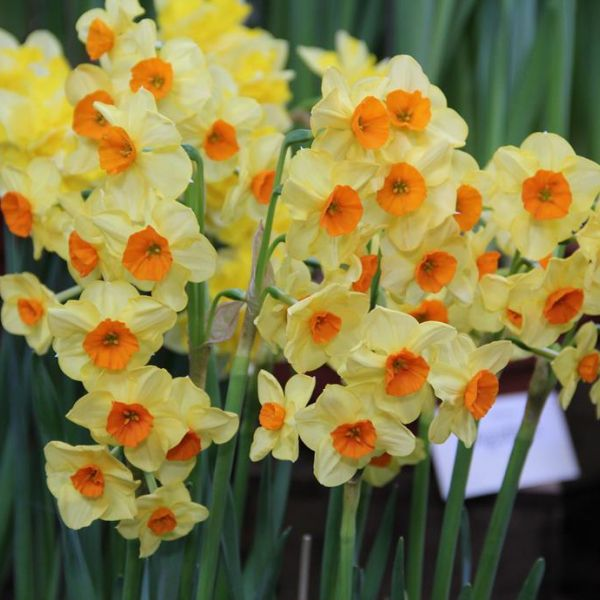 Narcissus 'Castanets'
