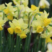 Narcis 'Cornish Chuckles'