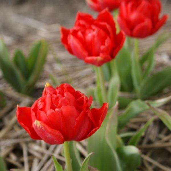 Tulipa 'Scarlet Cardinal'