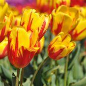 Tulipa 'Mis Ellen Moore'