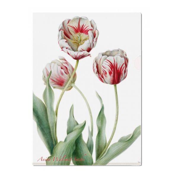 L-mapje Tulipa 'Teyler'