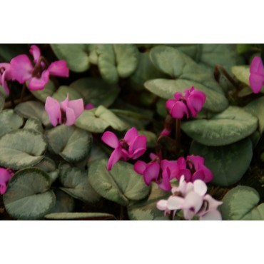 Cyclamen coum 'Pewter Leaf'