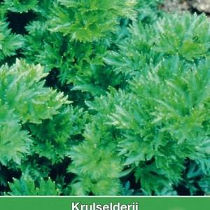 Krulseldeij, Apium graveolens 'Zwolse Krul'