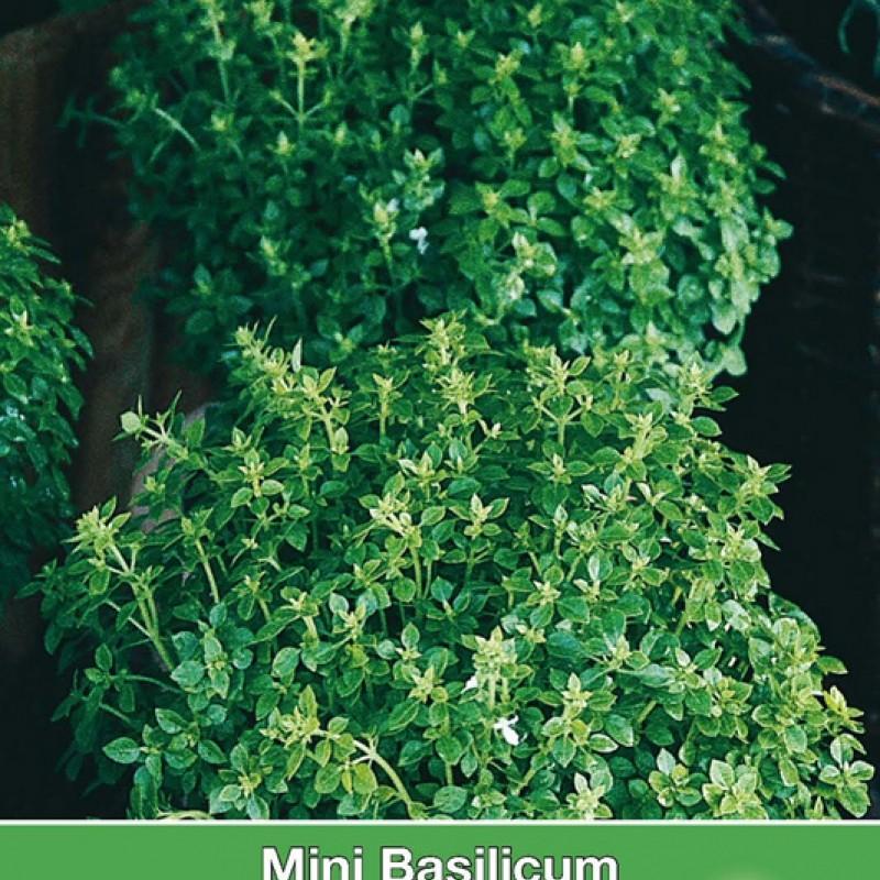 Mini Basilicum, Ocimum basilicum 'Pistou'