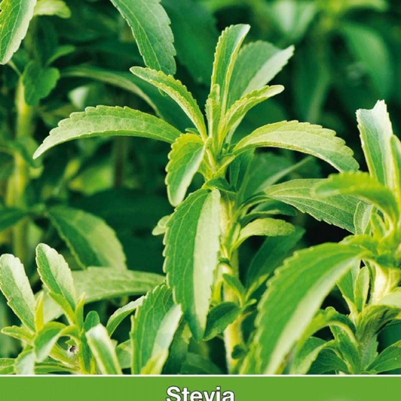Stevia, Stevia rebaudiana