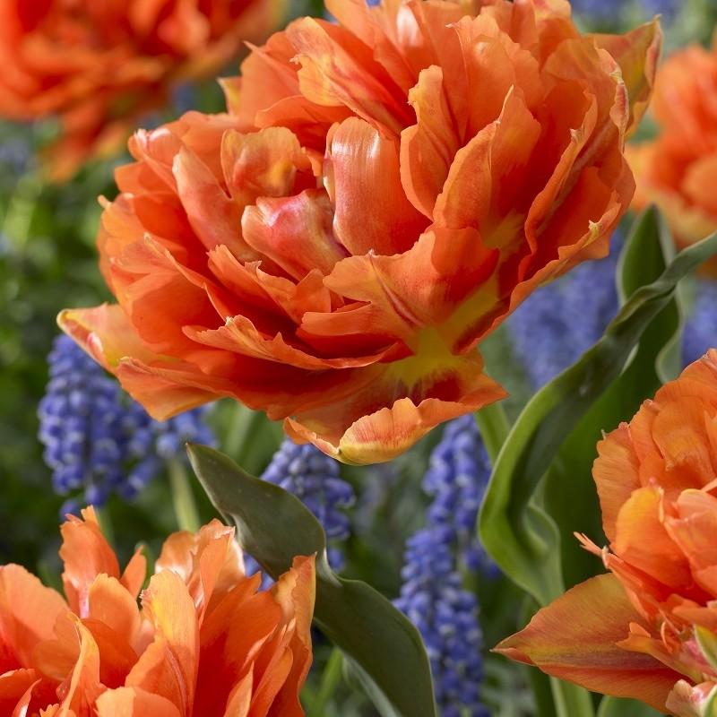 Tulipa 'Aga Kahn'
