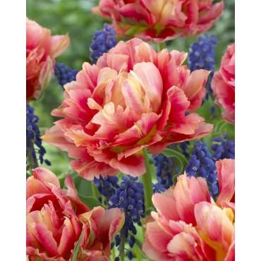 Tulipa 'Elias Martin'