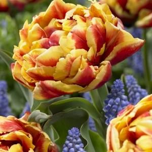 Tulipa 'La Farque'