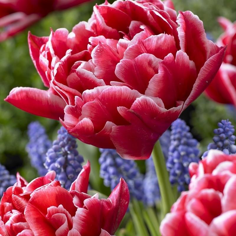 Tulipa 'Paul Rubens'