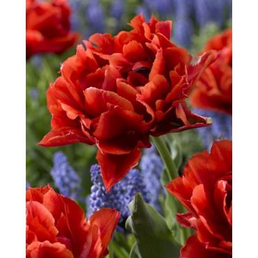 Tulipa 'René Menard'