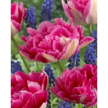 Tulipa 'Renoir'