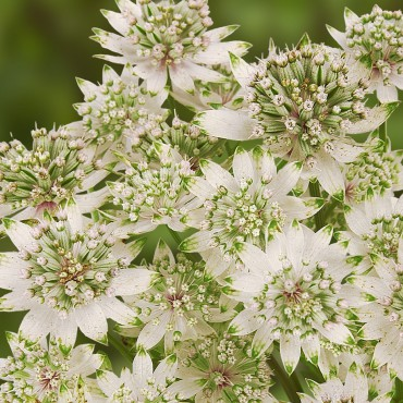 Astrantia major 'Star of Billion®'