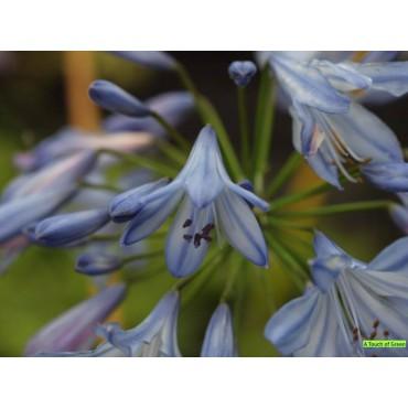 Agapanthus 'Blue Heaven®'