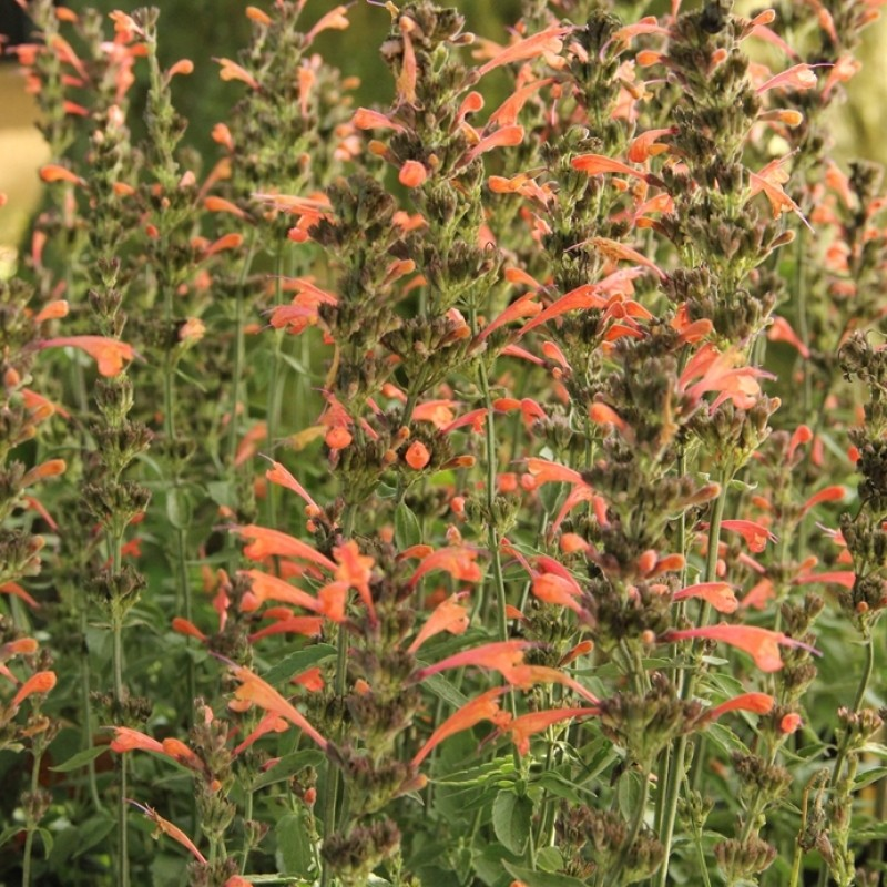 Agastache 'Summer Sunset®'