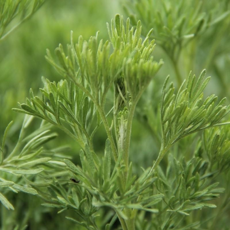 Artemisia abrotanum var. Coca Cola