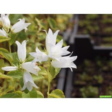 Campanula latifolia 'Alba'