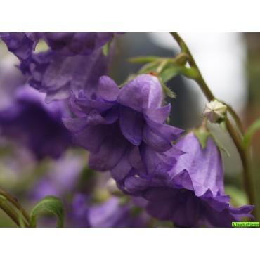 Campanula trachelium 'Bernice'