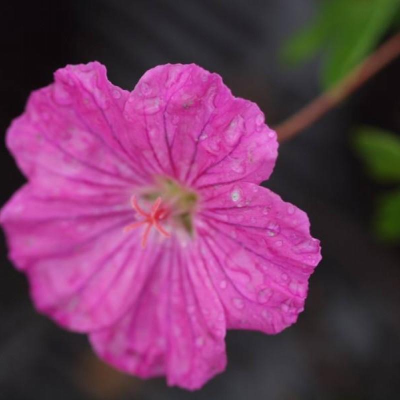 Geranium sanguineum 'Ankum's Pride'