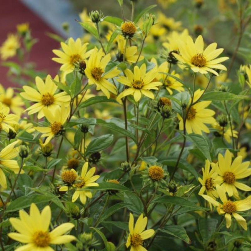 Helianthus 'Lemon Queen'