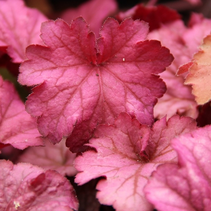 Heuchera 'Berry Smoothy®'