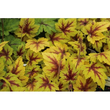 Heucherella 'Stoplight®'