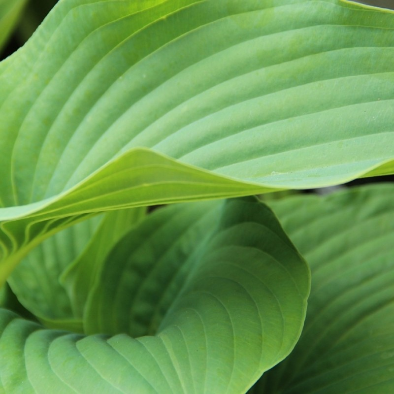 Hosta 'Empress Wu'