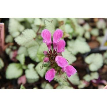 Lamium maculatum 'Purple Dragon®'