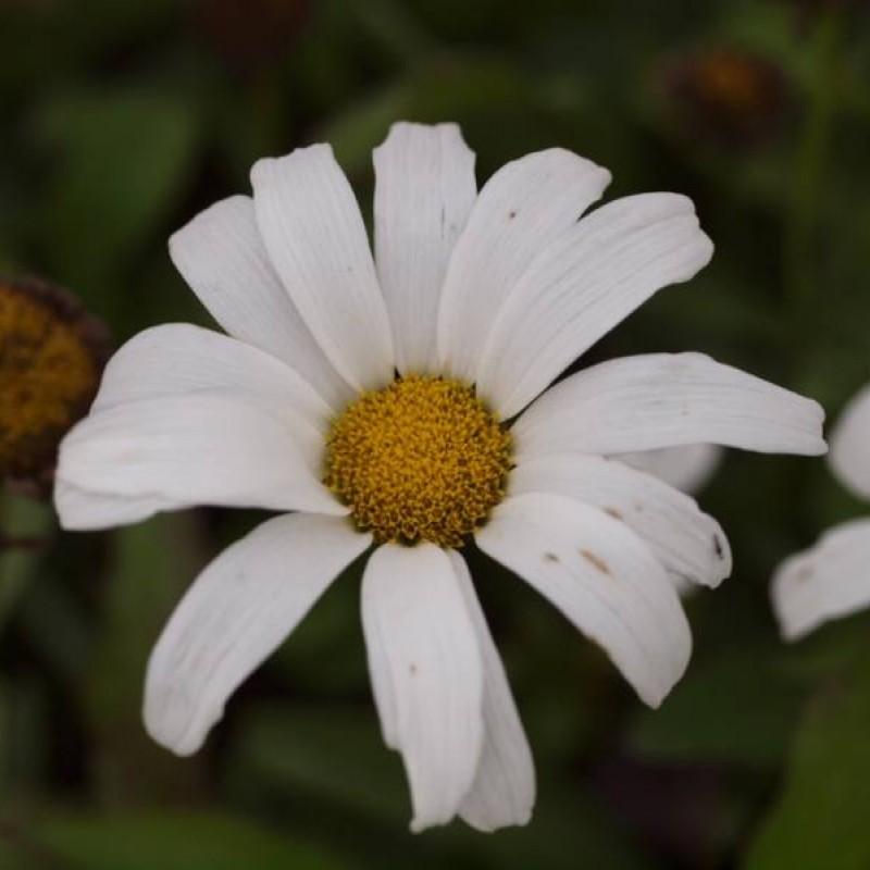 Leucanthemum (S) 'Silberprinzesschen'