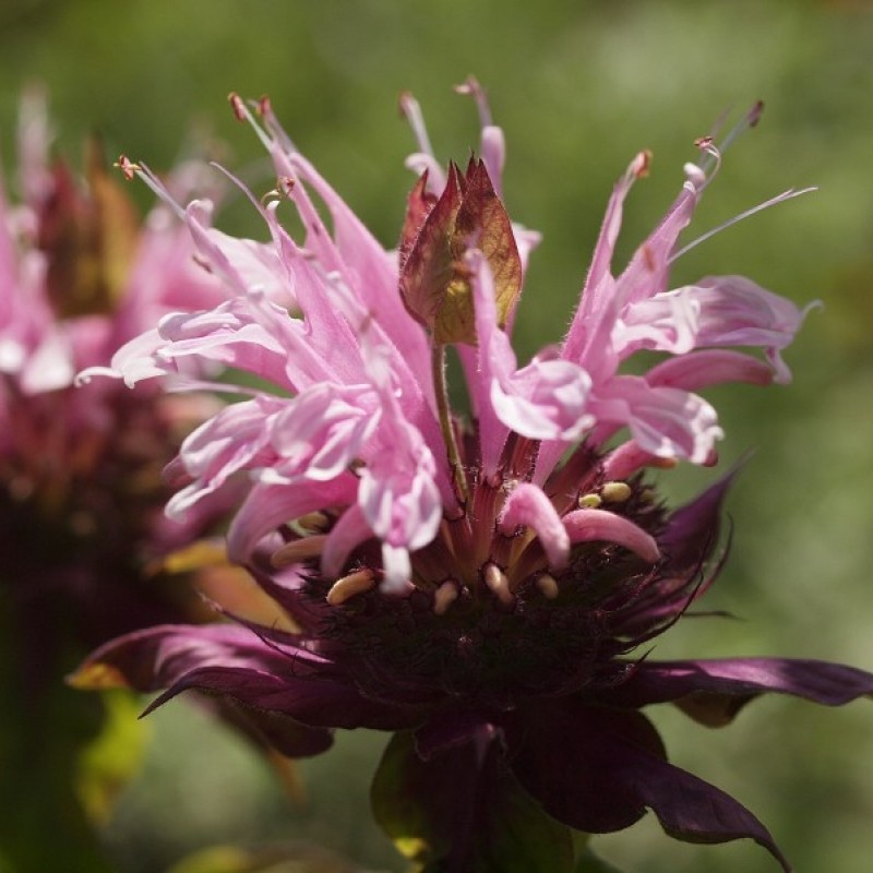 Monarda 'Croftway Pink'