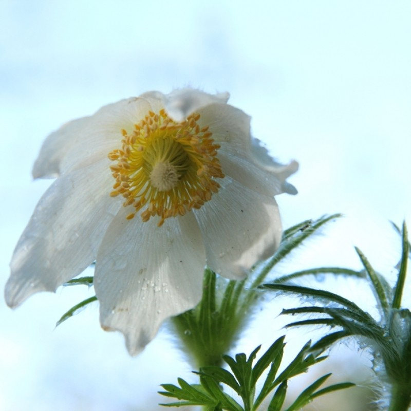Pulsatilla vulgaris 'Alba'