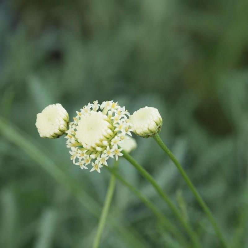 Santolina chamaecyparissus 'Edward Bowles'