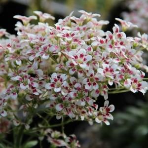Saxifraga cotyledon 'Southside Seedling'
