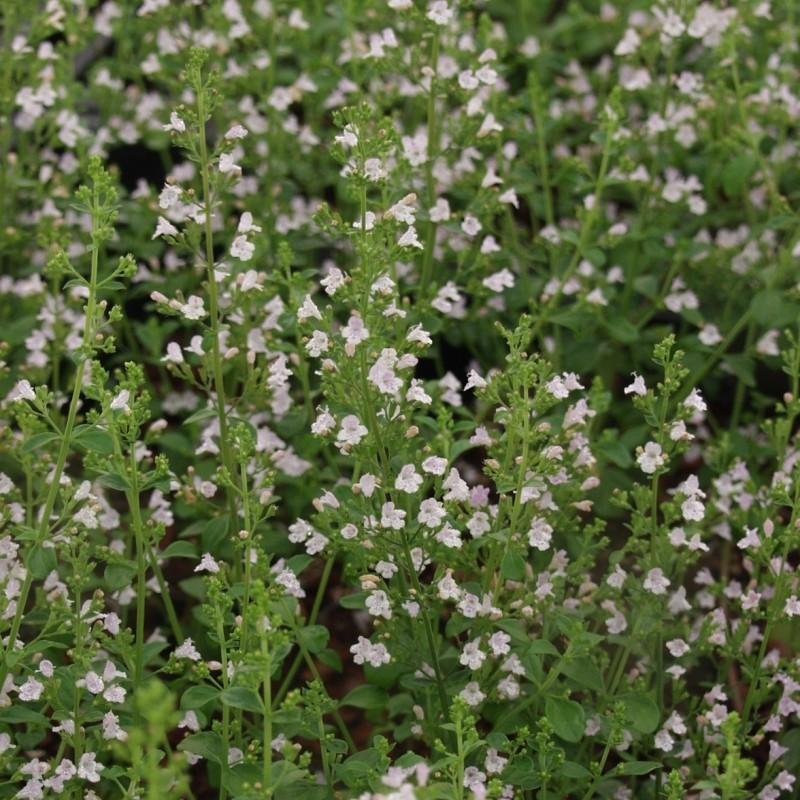 Calamintha nepeta subsp. nepeta