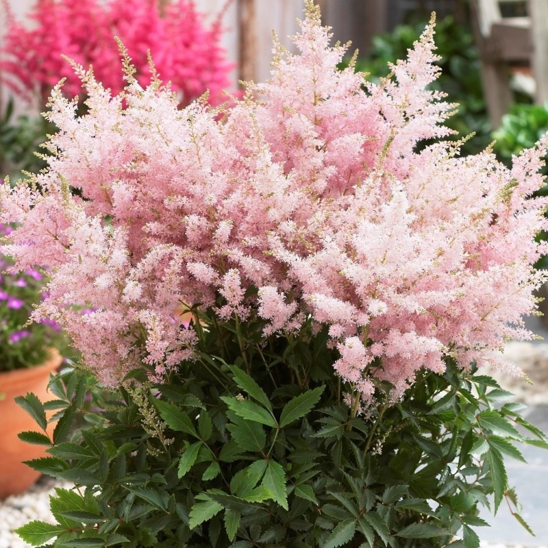 Astilbe 'Younique Silvery Pink®'