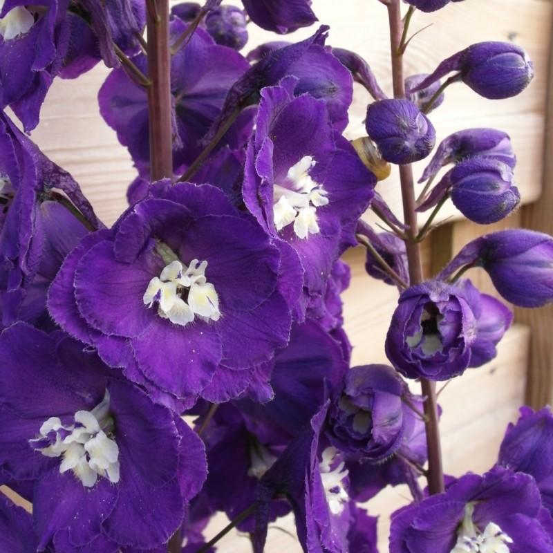 Delphinium (E) 'Purple Passion'