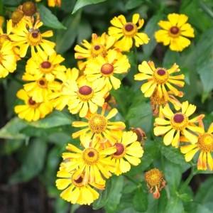 Helenium 'Rauchtopas'