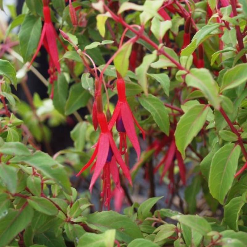 Fuchsia magellanica var.  'gracilis'