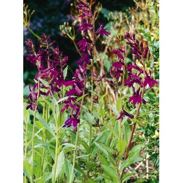 Lobelia 'Hadspen Purple®'