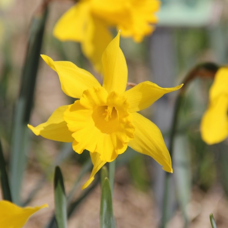 Narcissus hispanicus 'Maximus'