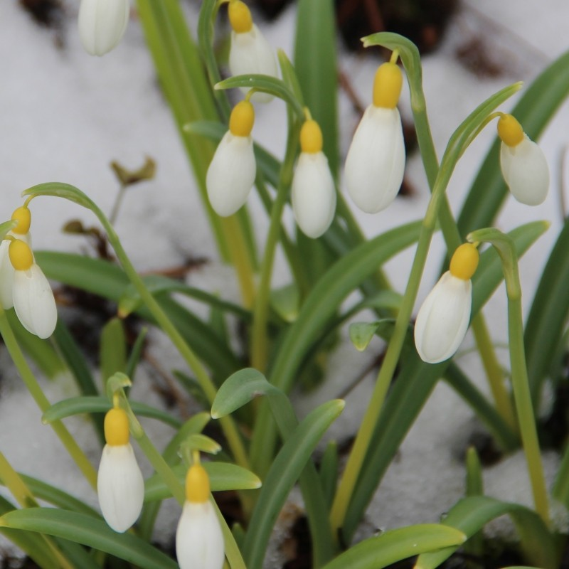 Galanthus 'Spindlestone Surprise' (Gold Group)
